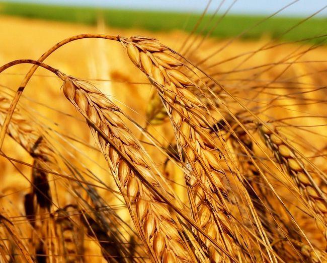 застосування Масла зародків пшениці для вій